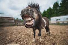 Shetland, with my tamron 15-30 ultra wide on Nikon D610. (carl.walker) Tags: horse funny teeth farming oldham tamron shetland horseportrait tamron1530 lancasterparkandanimalfarm