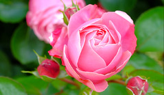 camelia rose (claude.lacourarie) Tags: pink flowers red flores macro rose fleurs rouge fuji bokeh blumen camelia camellia xt1