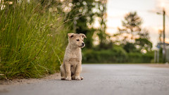 Stray puppy (adnanefs) Tags: trees sunset sky dog white cute nature grass animal zeiss puppy lost sitting sad bokeh wide sharp stray planar