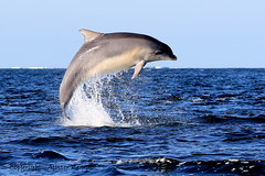 Moray Firth Dolphin - Wild & Free (Ally.Kemp) Tags: light wild point evening scotland jumping dolphin free scottish dolphins leaping breaching moray blackisle firth chanonry bottlenose fortrose