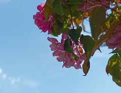 Je ne suis pas un cerisier - I'm not a cherry tree (p.franche) Tags: brussels sky flower macro tree nature fleur closeup europe belgium belgique bruxelles panasonic ciel dxo brussel hdr contrejour schaarbeek schaerbeek abre belge flickrelite fz200 pascalfranche pfranche