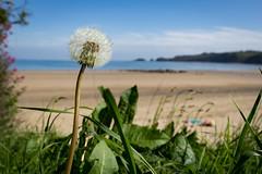 Coppet hall beach (brianmiller006) Tags: beach sand dandelion seashore