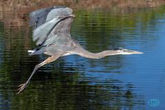 0526 IMG_0277 (JRmanNn) Tags: lasvegas greatblueheron clarkcountywetlandspark