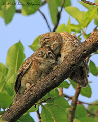 Love is being stupid together.. (Dr. Nishith Kumar Photography) Tags: india bird love birds canon flickr indian pair sigma best safari owl lovebirds lucknow nationalgeographic bestpic owlet littlebird birdphotography birdsofindia spottedowlet nishith birdsinlove bestimage canon60d sigma150500 sigma150500mm birdsofuttarpradesh nationalgeographicworldwide sgpgi drnishithkumarphotography drnishith sgpgims worldsbestpic owletpair spottedowletpair owletsinlove