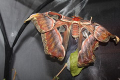 IMG_0024 (J_turner6) Tags: moth atlas attacus