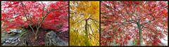 Uneven Triad (kbaranowski) Tags: autumn red nature germany garden japanesegarden maple colorful fallfoliage japanesemaple wernigerode beautyinnature krzysztofbaranowski 2016krzysztofbaranowski