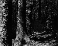 Trees and Path in Darkness and Light (Stanley Burn  Woods) (Jonathan Carr) Tags: trees light white abstract black rural woodland shadows path 4x5 abstraction northeast largeformat toyo foma 5x4 fomapan stanleyburnwoods