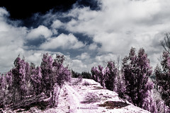 Violet Storm (alessiochiolo) Tags: trees light sky italy white color home nature beauty alberi clouds rural forest relax point landscape ir photography spring high cool intense italian italia nuvole day mood quiet colore silent view place natural offroad wind cloudy hill violet natura calm inner cielo enjoy land infrared alta unreal lands terra effect viola calma luce sicilia beatiful sud vento foresta sicilian giorno aperto territorio caltanissetta incontaminato