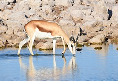 Springbok at the waterhole (anacm.silva) Tags: africa wild naturaleza nature mammal wildlife natureza antelope namibia etosha springbok mamfero frica etoshanationalpark antlope nambia