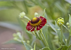 Nevena Uzurov - Pretty flower (Nevena Uzurov) Tags: summer flower floral petals bokeh serbia july mygarden helenium cveti nevenauzurov