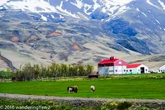 Iceland Day 10: orvaldseyri (wanderingYew2) Tags: iceland sheep farm ewe eyjafjallajkull orvaldseyri fujixpro2