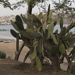 The cacti over the beach thumbnail
