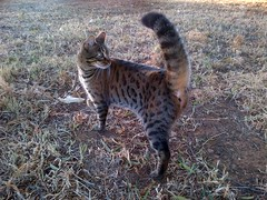 Mia (cindy.kreiner) Tags: pet bengals wildcat hunt
