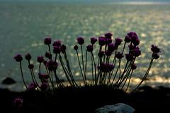 Wild flowers by the sea (Costigano) Tags: flowers sea nature coast seaside outdoor shore coastline irishsea