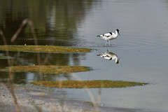 _DSC8594 (Carmen Coronado) Tags: naturaleza valencia fauna pjaros albufera sigma150500f563apodgos nikond750