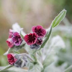 Langue de chien (sosivov) Tags: flowers red flower macro square sweden squareformat land hundtunga