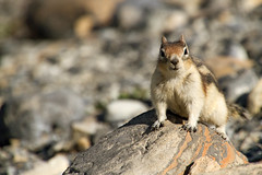 Golden-mantled Ground Squirrel Checking Us Out (jpmckenna - Tenquille Lake Up Next) Tags: canada hiking mountrobson mountrobsonprovincialpark canadianrockies mtrobson bcparks goldenmantledgroundsquirrel hikingbritishcolumbia callospermophiluslateralis berglakebackpack getoutisde