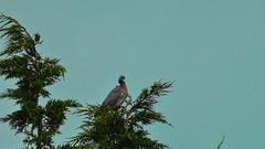pigeon (Yasmine Hens) Tags: bird europa flickr belgium pigeon ngc bleu arbre oiseau sapin namur hens yasmine wallonie world100f iamflickr flickrunitedaward hensyasmine