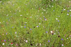 3 Cornflowers, Sissinghurst Castle Garden, Summer 2016 (Jim_Higham) Tags: flowers flower border meadow vita sackvillewest cornflowers sissinghurstcastlegardensummer2016beautifulamazing