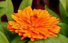 a wet little marigold (Suzie Noble) Tags: flowers flower marigold orangemarigold strathglass struy