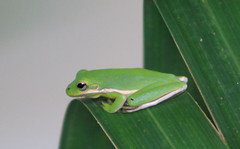IMG_2454 (im2fast4u2c) Tags: green tree frog wildlife animal