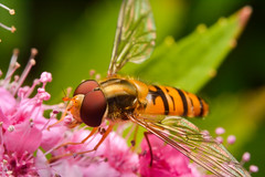 Marmalade Hoverfly (Artur Rydzewski) Tags: episyrphusbalteatus marmaladehoverfly bzygprkowany fly insect nature flower dinner lunch hoverfly syrphidae ngc challengegamewinner