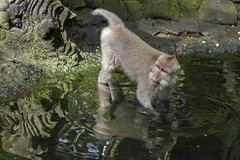 Crab-eating macaque (tmeallen) Tags: crabeatingmacaque monkey standinginwater pool gropingforfood macacafascicularis reflection water ubud monkeyforestsanctuary bali indonesia semidomesticated