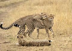 Cheetah Cubs at Play (John Hallam Images) Tags: cheetah cubs cheetahcubs three play mara masaimara kenya safari