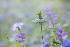 Douceur bleue... (Gisou68Fr) Tags: parc parcdewesserling prairiefleurie fleurs flowers bleu blue fleurbleue canoneos650d efs60mmf28macrousm macro bokeh lin nigelle nigellededamas nigelladamascena saugehormin salviahorminum fleurdelin 68 hautrhin alsace france