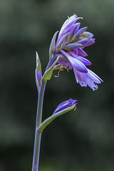 Funkien-Blte (kathrin275) Tags: blossom blte pflanze plant sommer summer garden natur nature flora garten funkie violett blume detail