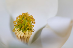 The pollen factory (Janet Marshall LRPS) Tags: flower white stamens petals pollen curly magnoliaheart macro 180mm