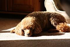 Sun Loving Poodle (Donna JW) Tags: miniaturepoodle dog pet poodle sunshine shadows picmonkey redpoodle sunlover