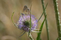 Adonis Blue Butterfly-_dsc0337 (mx5_jacky) Tags: butterfly adonisbluebutterfly blue spain basquecoast teasel