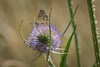 Adonis Blue Butterfly-_dsc0337 (mx5_jacky) Tags: butterfly adonisbluebutterfly blue spain basquecoast teasel