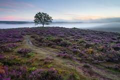 Summer Heather (Stu Meech) Tags: heather the new forest mist fog sunrise nikon d750 1635 leefilters stu meech