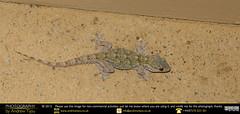 Moorish Gecko (andrewtijou) Tags: andrewtijou nikond7200 europe spain puntadelmoral costadelaluz es