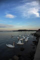 Blue Danube with swans (Vojinovic_Marko) Tags: nikon d7200 swan water swans dunav danube quay river reka labud waterfront animal bird beograd belgrade serbia srbija aquaticbird zemunskikej kejosloboenja