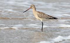Bar tailed Godwit (Galway Pete) Tags: bartailed godwit seabirds nature beach furbo galway ireland sigma150600c 7dmk11 peterskelton photography wwwpskeltonphotocom