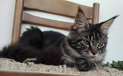 Maine coon kitten on the chair (romeosilverpersian) Tags: mainecoon mainecooncat mainecoonkitten coonies cats cat catbreeds catphotos gatto gatti pet pets animalidomestici animale chair