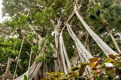 Fig Tree in Jardin Botanico - Puerto de la Cruz (Piotr Kowalski) Tags: puertodelacruz jardinbotanico botanicgarden garden botanic flowers green ogród ogródbotaniczny spain espania hiszpania tenerife teneryfa canary canaryislands laorotava orotava tree flora strange figtree