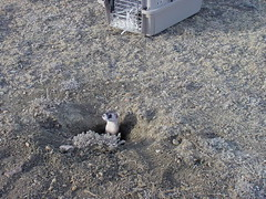 Black-Footed Ferrets (mypubliclands) Tags: threatenedspecies endangered bureauoflandmanagement wildlife biology