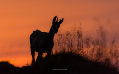 chamois in the sunset (ciwi8) Tags: sunset hills grass gams chamois vosges vogesen summer red silhouette horn hrner geweih horns greatphotographers