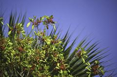 Christmas colors for the season (the kelp knot) Tags: florida savannah redberries invasivespecies floridaholly fortpierce anacardiaceae christmasberry drupe brazilianpepper schinusterebinthifolius