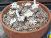 DSCF1473 (BobTravels) Tags: plant stone bob lithops lithop messem bobwitney