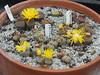 DSCF0392 (BobTravels) Tags: plant stone bob lithops lithop messem bobwitney