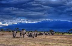 Elephants Head back to the Foothills of Mt. Kilimanjaro (diana_robinson) Tags: kilimanjaro kenya elephants amboseli eastafrica elephantparade amboselinationalpark dianarobinson nikond700 elephantline