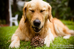 Milo eating a pine cone