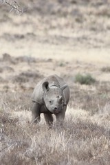 2014-09-24_Mountain_Zebra_3580_c (sylviastride) Tags: southafrica blackrhino mountainzebranationalpark