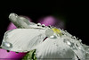 Liquid Pearls (ArvinderSP) Tags: india flower nature reflections catharanthusroseus waterdrops 584 newdelhi naturephotography macrophotography natureupclose vincarosea arvindersingh liquidpearls nikon28105f3545d nikond7000 arvindersp arvinderspcom