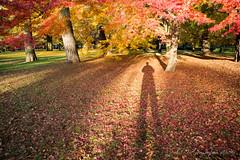 京都御苑 (GenJapan1986) Tags: 2014 京都市 京都府 京都御苑 紅葉 日本 kyotoimperialpalacepark nikond600 japan 秋 autumn kyoto